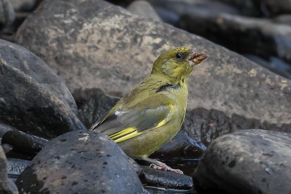 European Greenfinch (Chloris chloris) - Geeveston, Tasmania