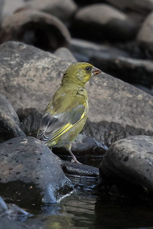 European Greenfinch (Chloris chloris) - Geeveston, Tasmania