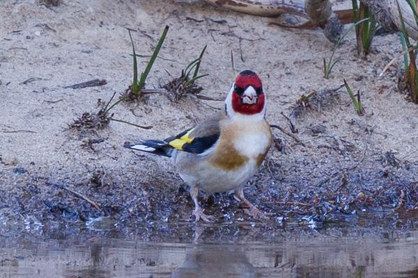 European Goldfinch (Carduelis carduelis) - Little Desert, Victoria
