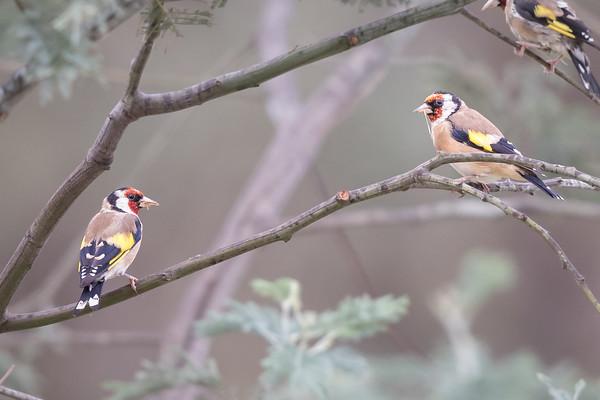 European Goldfinch (Carduelis carduelis) - Geeveston, Tasmania
