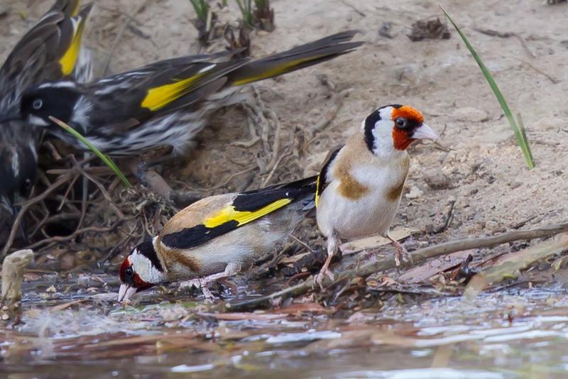 European Goldfinch (Carduelis carduelis) + New Holland Honeyeater (Phylidonyris novaehollandiae) - Little Desert, Victoria