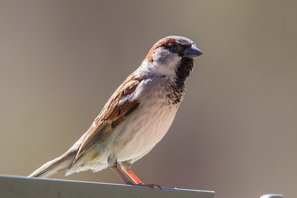 House Sparrow (Passer domesticus) - Capertee Valley (Glen Davis), New South Wales