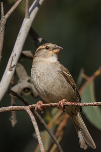 House Sparrow (Passer domesticus) - Lake Bolac, Victoria