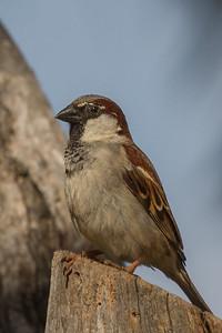 House Sparrow (Passer domesticus) - Lake Bolac, Victoria