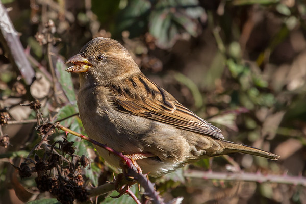 House Sparrow (Passer domesticus) - Werribee Treatment Plant, Victoria