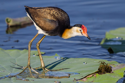Comb-crested Jacana (Irediparra gallinacea) - Fogg Dam, Northern Territory