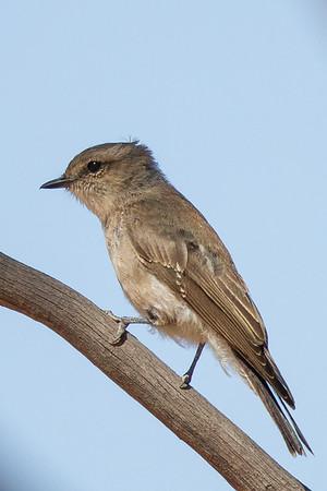 Jacky Winter (Microeca fascinans) - Lake Gilles Conservation Park, South Australia