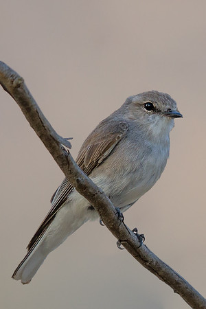Jacky Winter (Microeca fascinans) - Capertee Valley (Glen Davis), New South Wales