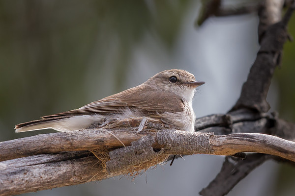 Jacky Winter (Microeca fascinans) - Capertee Valley, New South Wales