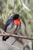 Mistletoebird (Dicaeum hirundinaceum) - Cunnumulla, Queensland