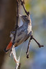 Mistletoebird (Dicaeum hirundinaceum) - Capertee Valley, New South Wales