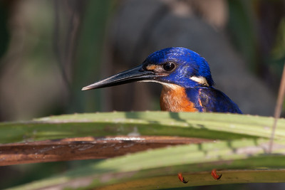 Azure Kingfisher (Alcedo azurea) - Corroboree Billabong, Northern Territory