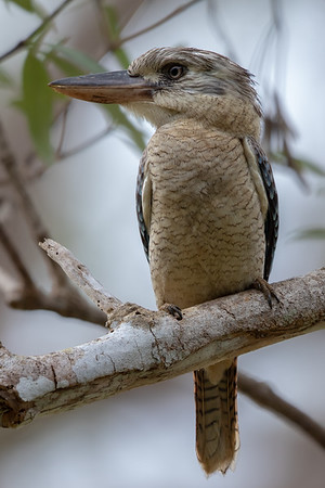 Blue-winged Kookaburra (Dacelo leachii) - Moreton Telegraph Station (Cape York), Queensland