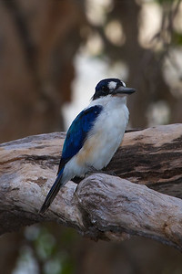 Forest Kingfisher (Todiramphus macleayii) -  Yellow Water Billabong (Kakadu National Park), Northern Territory