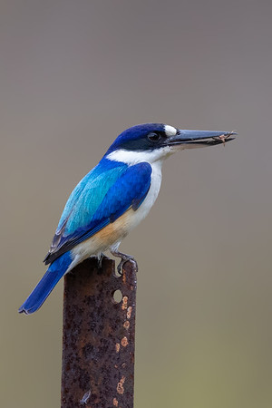 Forest Kingfisher (Todiramphus macleayii) - Laura, Queensland