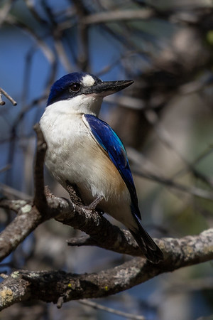 Forest Kingfisher (Todiramphus macleayii) - Lakefield National Park )Cape York), Queensland