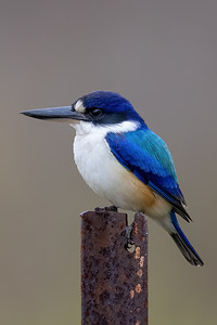 Forest Kingfisher (Todiramphus macleayii) - Laura, Queensland