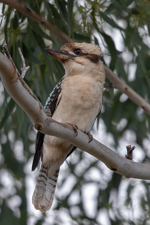 Laughing Kookaburra (Dacelo novaeguineae) - Minnamoolka, Queensland