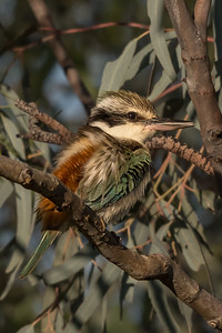 Red-backed Kingfisher (Todiramphus pyrrhopygius) - Long Waterhole (Winton), Queensland