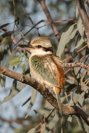 Red-backed Kingfisher (Todiramphus pyrrhopygius) - Long Waterhole (Winton), Queensland