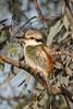Red-backed Kingfisher (Todiramphus pyrrhopygius) - Long Waterhole (Winton ), Queensland