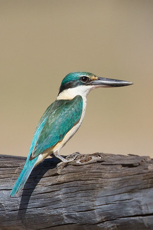 Sacred Kingfisher (Todiramphus sanctus) - Pine Creek, Northern Territory