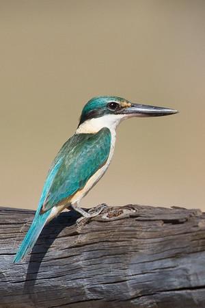 Sacred Kingfisher (Todiramphus sanctus) - Pine Creek, Northern Territory