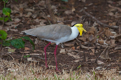 Masked Lapwing (Vanellus miles) - Howard Springs Nature Park, Northern Territory