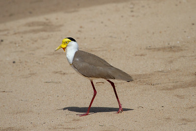 Masked Lapwing (Vanellus miles) - Thursday Island, Queensland