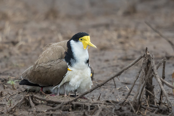 Masked Lapwing (Vanellus miles) - Winton Wetlands, Victoria