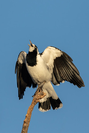 Magpie-lark (Grallina cyanoleuca)- Bowra (Cunnamulla), Queensland