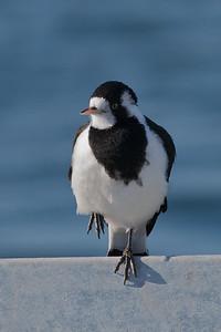 Magpie-lark (Grallina cyanoleuca) - Queenscliff, Victoria
