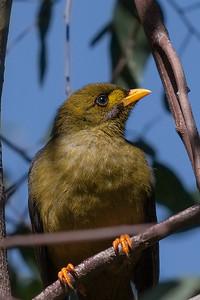Bell Miner (Manorina melanophrys) - Melbourne Botanic Gardens, Victoria