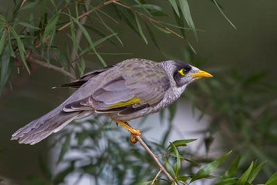 Noisy Miner (Manorina melanocephala) - Stony Point, Victoria