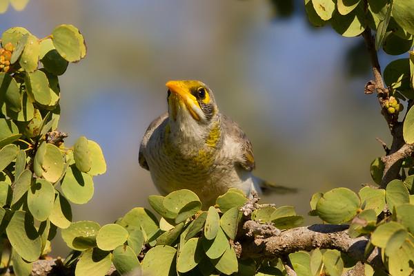 Yellow-throated Miner (Manorina flavigula) - Cumberland Dam (Georgetown), Queensland