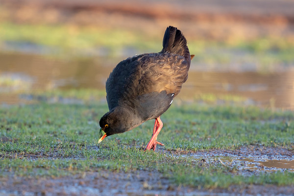 Black-tailed Native-hen (Tribonyx ventralis) - Bowra (Cunnamulla), Queensland,