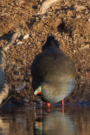 Black-tailed Native-hen (Tribonyx ventralis) - Wood Duck Dam (Flinders Ranges), South Australia