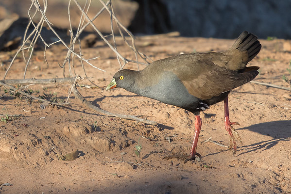 Black-tailed Native-hen (Tribonyx ventralis) - Bowra (Cunnamulla), Queensland