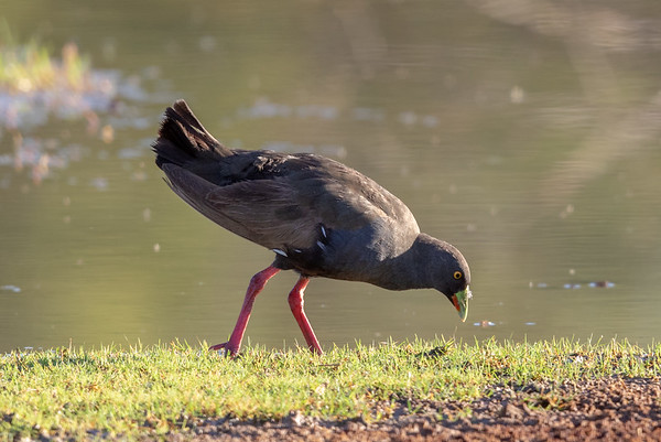 Black-tailed Native-hen (Tribonyx ventralis) - Cunnumulla, Queensland,