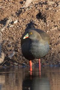 Black-tailed Native-hen (Tribonyx ventralis) - Wood Duck Dam (Flinders Ranges), South Australia