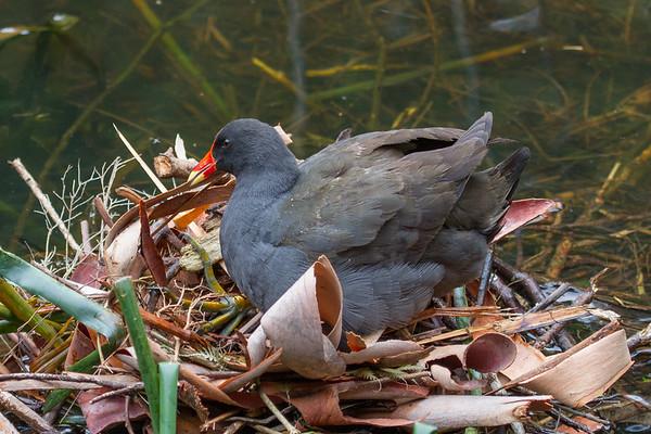 Dusky Moorhen (Gallinula tenebrosa) - Healsville, Victoria