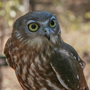 Southern Boobook (Ninox boobook (novaeseelandiae)) - Howard Springs Nature Park, Northern Territory