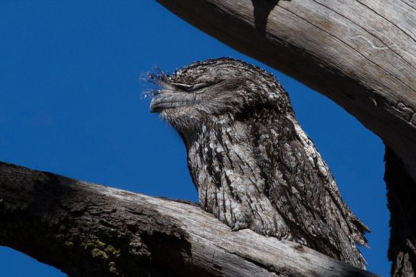 Tawny Frogmouth (Podargus strigoides) - Lockyer Valley, Queensland