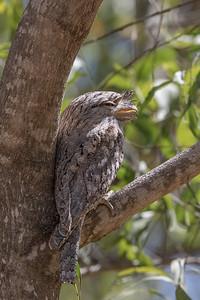 Tawny Frogmouth (Podargus strigoides) - Edith Falls, Northern Territory