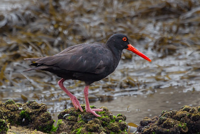 Sooty Oystercatcher (Haematopus fuliginosus) - Duesbury Beach (Narooma), New South Wales