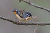 Spotted Pardalote (Pardalotus punctatus) - Jamieson, Victoria