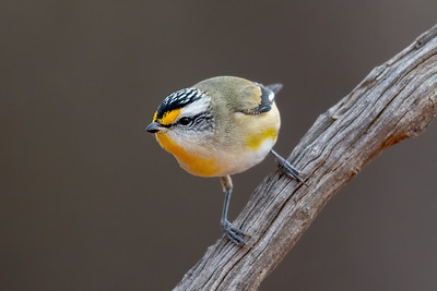 Striated Pardalote (Pardalotus striatus) - Cunnamulla, Queensland