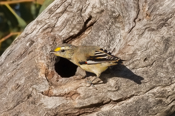 Striated Pardalote (Pardalotus striatus) - Burra Creek Gorge (Worlds End), South Australia