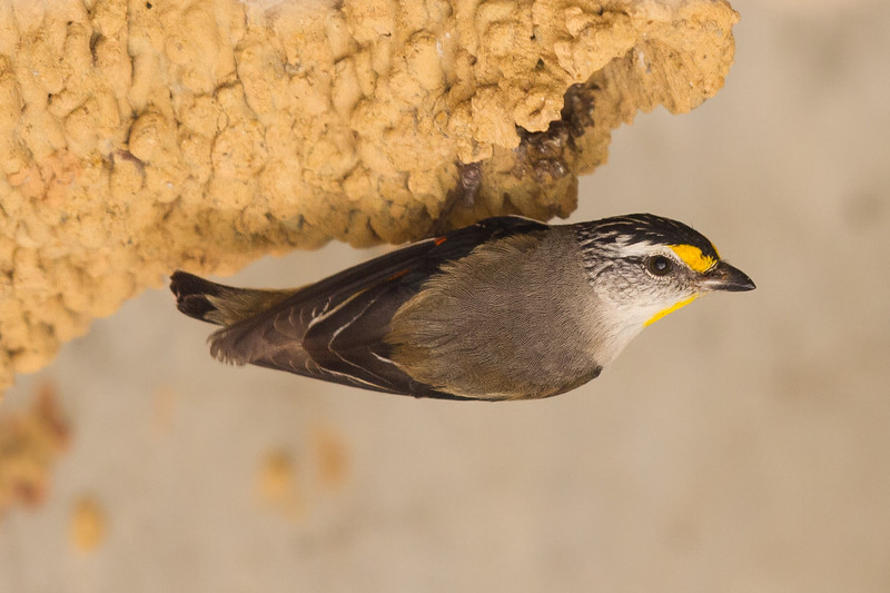 Striated Pardalote (Pardalotus striatus) - Capertee Valley, New South Wales