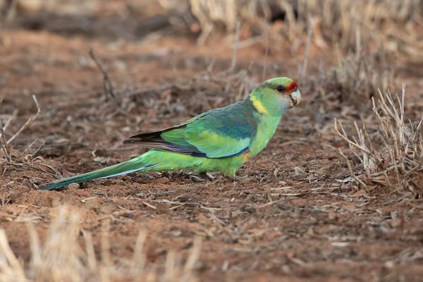 Australian Ringneck (Barnardius zonarius) - Bowra (Cunnamulla), Queensland